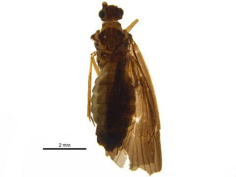 Image of Pisuliidae