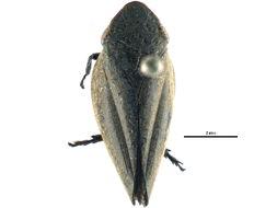 Image of Plinia