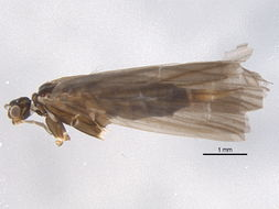 Image of <i>Wormaldia anilla</i> (Ross 1941)