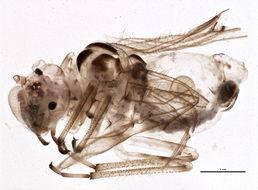 Image of <i>Teliapsocus conterminus</i> (Walsh 1863)