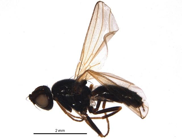 Image of Psilinae