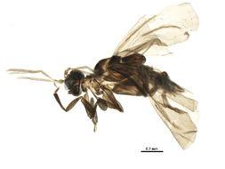 Image of Elenchidae