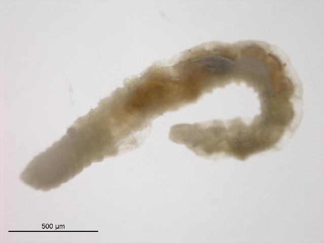 Image of Aquatic oligochaete worm