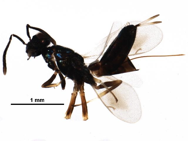 Image of <i>Eupelmus annulatus</i> Nees 1834