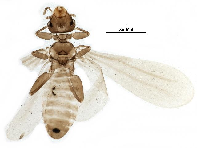 Image of <i>Embidopsocus</i>