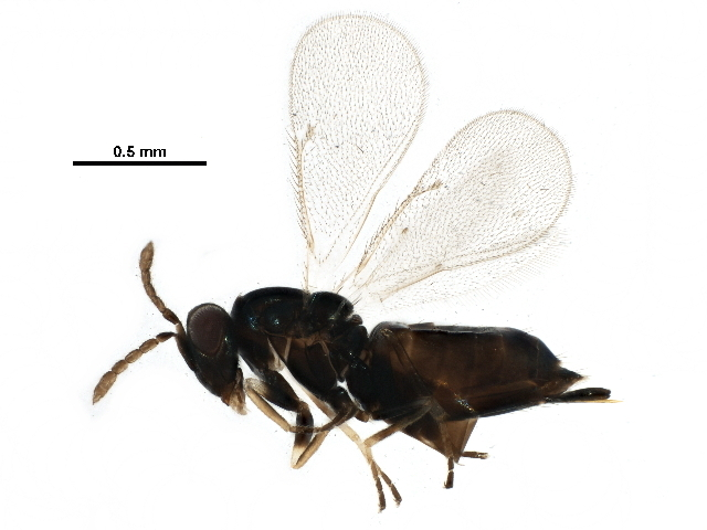 Image of <i>Aprostocetus meltoftei</i> Buhl 1997