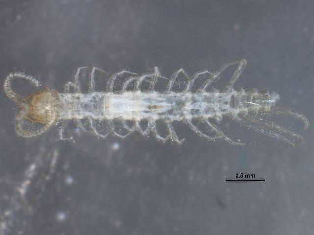 Image of Henicopidae