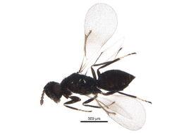 Image of Hadrotrichodes