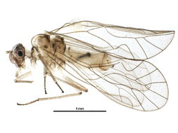 Image of Elipsocinae Pearman 1936