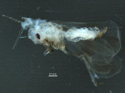 Image of Fig whitefly