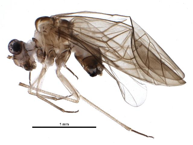 Image of Amphigerontiinae