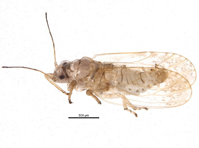 Image of Acizziinae
