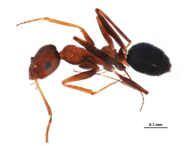 Image of Lepisiota