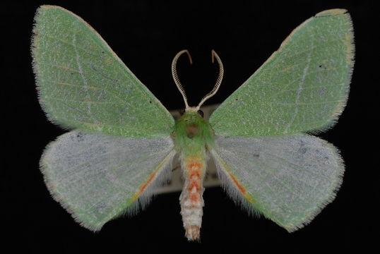 Image of <i>Chlorosea roseitacta</i> Prout 1912