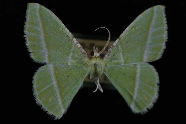 Image of <i>Dichorda consequaria</i> Edwards 1884