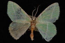 Image of <i>Dichorda rectaria</i> Grote 1877