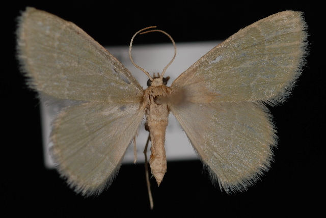 Image of Thin-lined Chlorochlamys Moth
