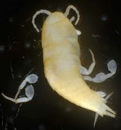 Image of subterranean silverfish