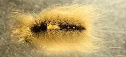 Image of Arctic Wooly-Bear Caterpillar