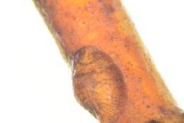 Image of Parthenolecanium