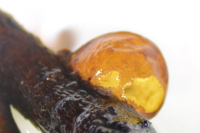 Image of Eulecanium