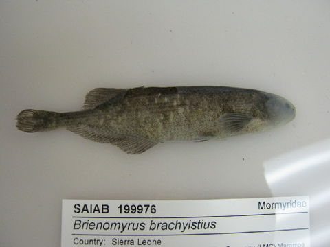 Image of Brienomyrus