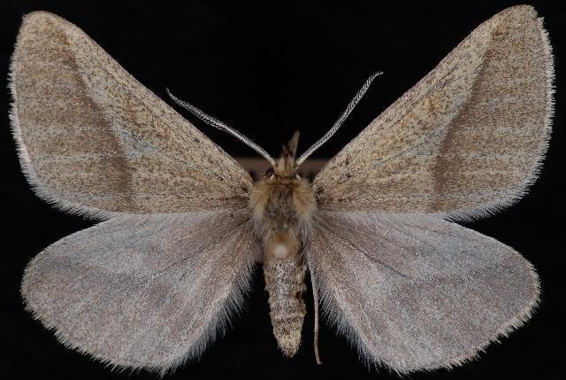 Image of <i>Aspitates orciferaria</i> Walker 1862