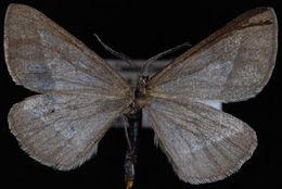 Image of <i>Aspitates taylori</i>