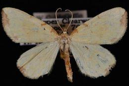 Image of <i>Eurhinosea flavaria</i> Packard 1876