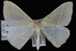 Image of Bank's Emerald Moth