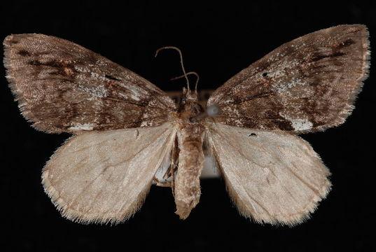 Image of <i>Hydriomena californiata</i> Packard 1871