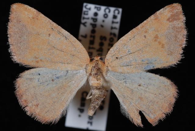 Image of <i>Drepanulatrix</i>