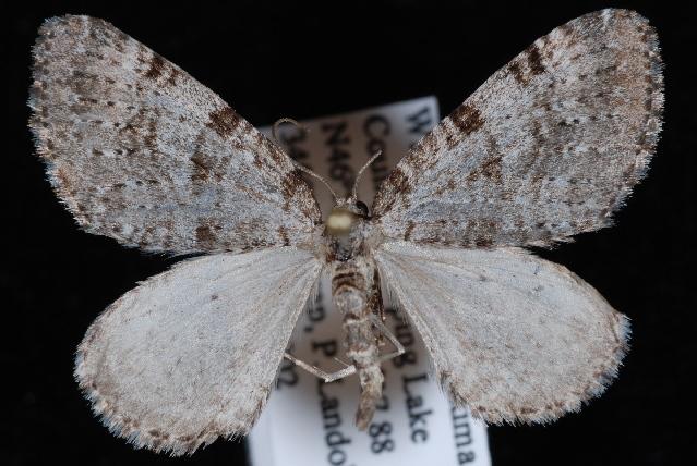 Image of <i>Perizoma curvilinea</i> Hulst 1896