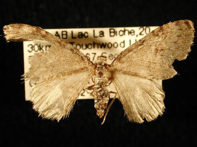 Image of Pearsall's Carpet Moth