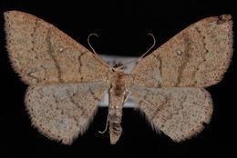 Image of <i>Cyclophora dataria</i> Hulst 1887