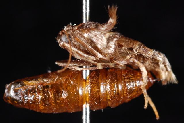 Image of <i>Malacodea pulchraria</i>