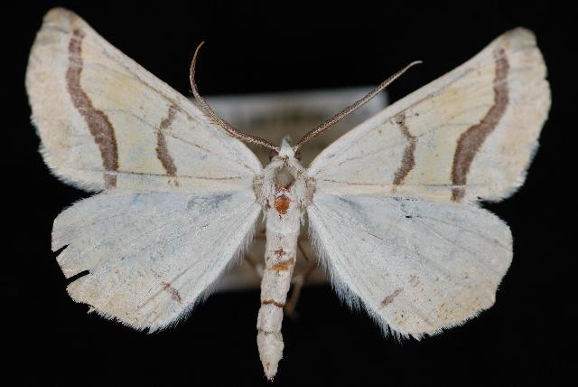 Image of <i>Eriplatymetra coloradaria</i>