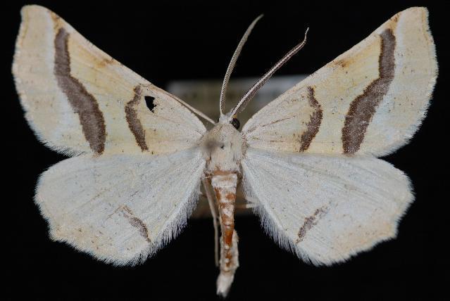 Image of Eriplatymetra