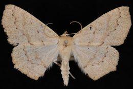 Image of <i>Sabulodes aegrotata</i> Guenée 1858