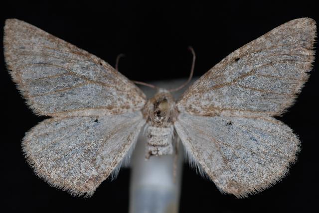 Image of <i>Meris suffusaria</i> Mc Dunnough 1940