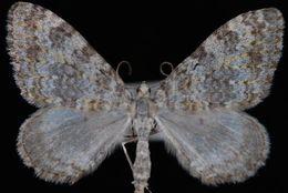 Image of <i>Entephria multivagata</i> Hulst 1881
