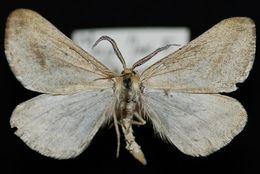 Image of <i>Aspitates aberrata</i> Edwards 1887