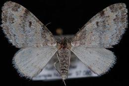 Image of <i>Lobophora simsata</i> Swett 1920