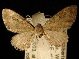 Image of <i>Eupithecia gelidata</i> Möschler 1860