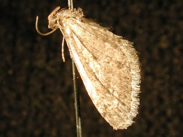 Image of <i>Eupithecia nimbicolor</i> Hulst 1896