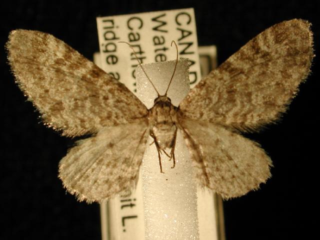 Image of <i>Eupithecia lafontaineata</i>