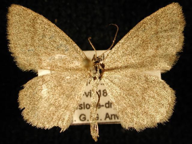 Image of <i>Scopula septentrionicola</i> Mc Dunnough 1939
