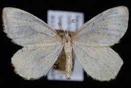 Image of Eurhinosea