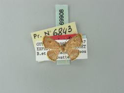 Image of <i>Tricentra navatteae</i> Herbulot 1993