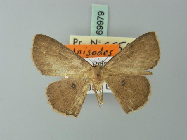Image of <i>Cyclophora cedrici</i> (Herbulot 1991)